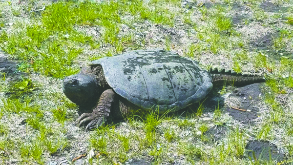 A snapping turtle was recently spotted near the English Coulee.